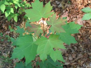 Transplanted sugar maple sapling in Smithtown