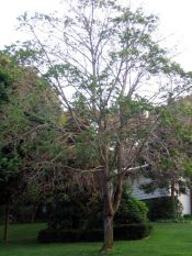 Diseased Norway maple marked for destruction in Smithtown