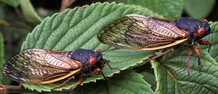 Periodical cicadas, like the  Brood-X cicadas that last hatched in 2004 (note the red eyes and orange-red wing veins) - Courtesy of USDA