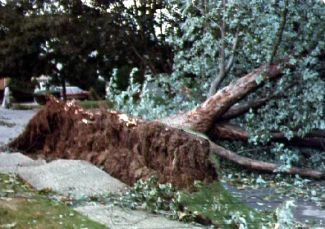 Silver Maple blown over prior to the arrival of Hurricane Gloria.  The roots had been clipped after they severely damaged the adjacent sidewalk