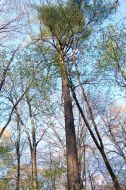 Tall trees - Sweetbriar Nature Center, Smithtown, NY